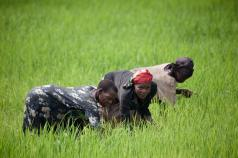 The Global Rice Science Partnership
