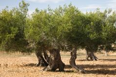 Olives in the Desert: Egypt's Farmers Call On Scientists to Value Local Know-How